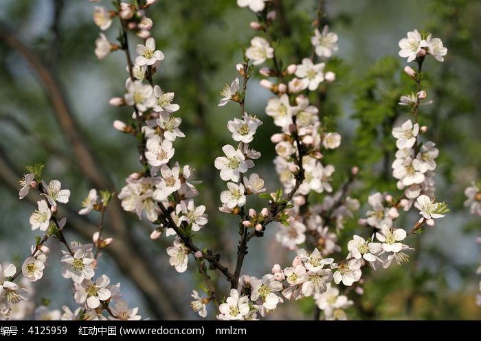 大兴安岭 榆叶鸾枝图片