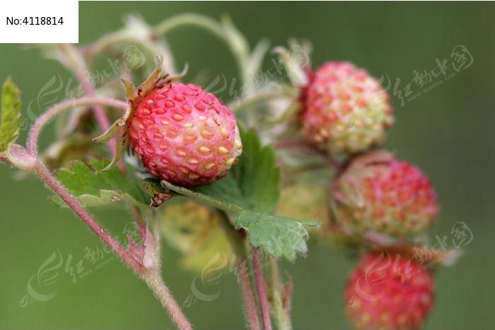 东方草莓果实