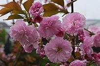 粉白绽放中的花