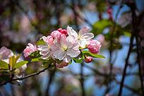 粉色的海棠