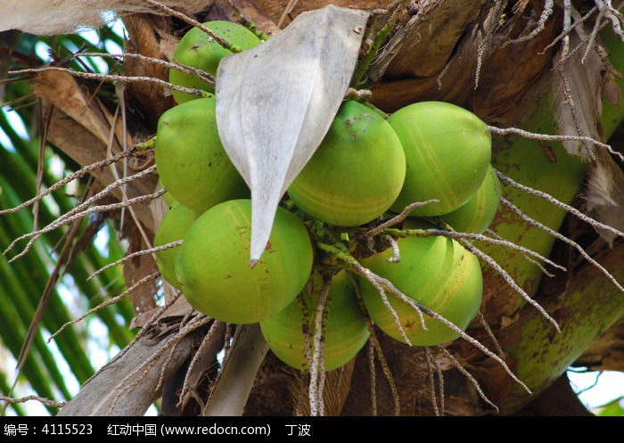 挂在树上的一串椰子