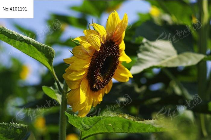 原创摄影图 动物植物 花卉花草 果实饱满的向日葵  请您分享: 红动网