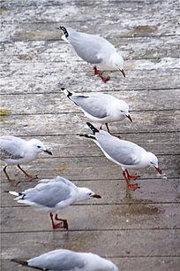 海岸边上觅食的银鸥