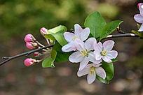 海棠花朵和花苞
