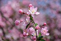 海棠花粉色
