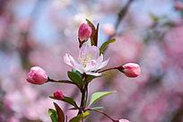 海棠三花苞