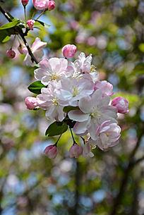 海棠盛开枝头