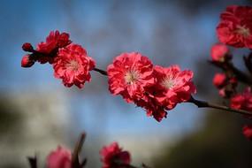 红桃花花朵