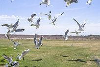 空中飞翔的银鸥