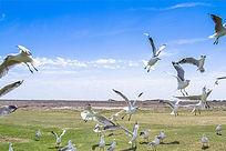 蓝湖群飞中的银鸥