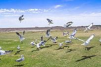 蓝天下展翅飞翔的银鸥