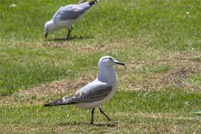 两只可爱的澳洲银鸥