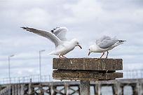 两只正在夺食的银鸥