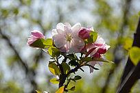 逆光的海棠花