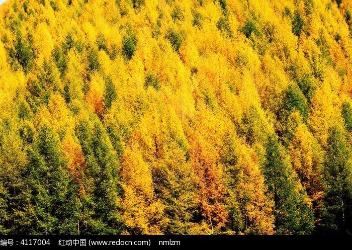 秋染塞罕坝图片,高清大图_森林树林素材