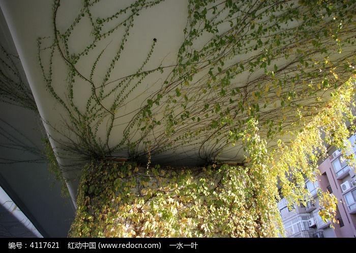 原创摄影图 动物植物 树木枝叶 天桥上的爬山虎植物
