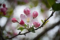 五花苞海棠花朵