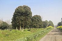 乡路桂花树林