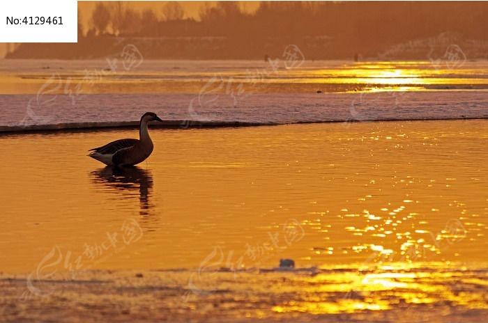 原创摄影图 动物植物 空中动物 夕阳下的鸿雁  请您分享: 红动网提供