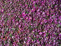 野蔷薇花瓣