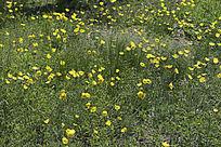 野生罂粟花