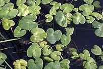 野生植物 白花驴蹄菜