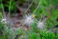 野生植物 白头翁