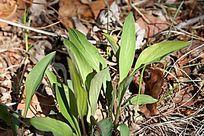 野生植物 大叶柴胡