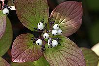 野生植物 红瑞木