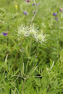 野生植物 棉团铁线莲