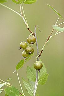 野生植物 水葡萄茶藨