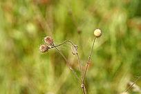 野生植物 水杨梅