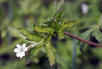 野生植物 鼠掌草
