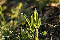 野生植物 鸭嘴菜