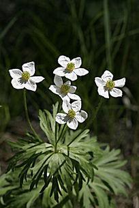 野生植物 银莲花