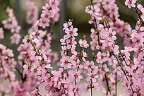 野生植物 榆梅
