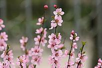 野生植物 榆叶梅