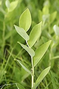 野生植物 玉竹