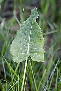野生植物 皱叶酸模