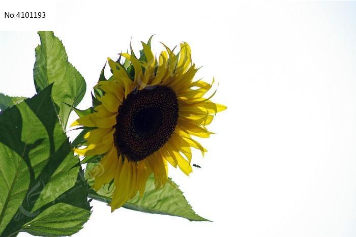 一朵太阳花素材