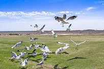 银鸥展翅飞翔