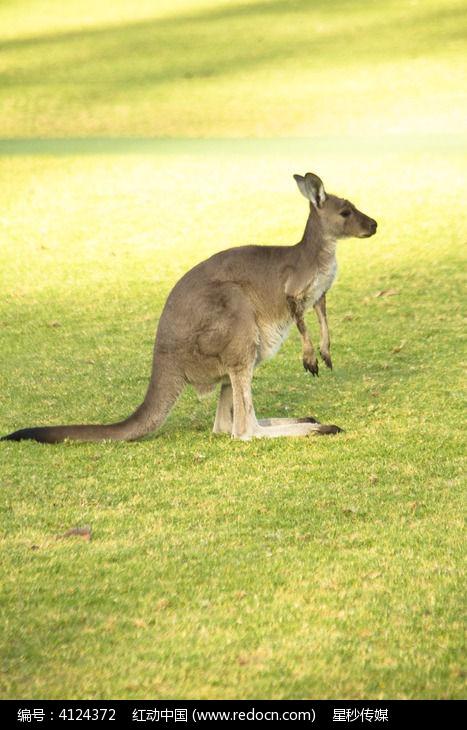 一只超级可爱的澳洲袋鼠
