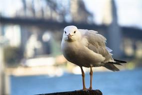 一只南澳银鸥