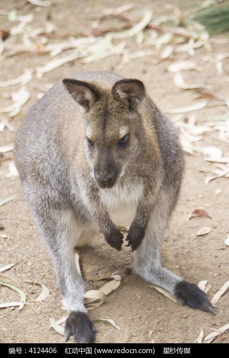 一只正在觅食的可爱袋鼠
