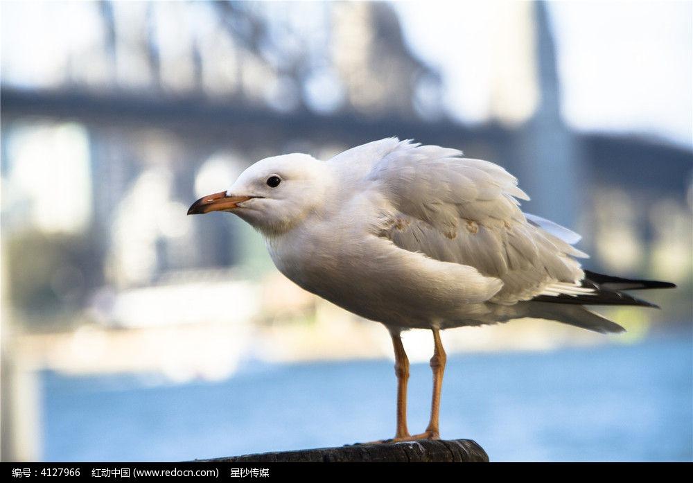 一只正在栖息的银鸥图片,高清大图_空中动物素材