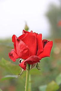 一株玫瑰花