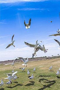 展翅翱翔中的银鸥