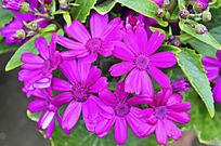 紫红色太阳花