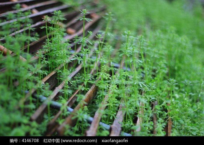 菜园边的篱笆盖不住春的气息图片