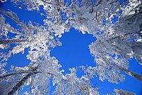 树挂茫茫的林海雪松